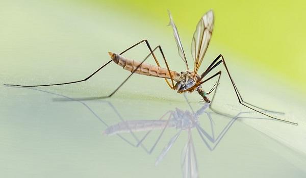"""Le comuni zanzare vengono inserite nella categoria """"insetti volanti"""""""