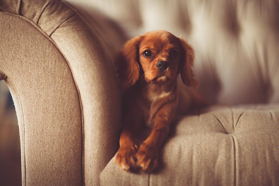Come Eliminare i Peli del Cane dalla Tua Casa